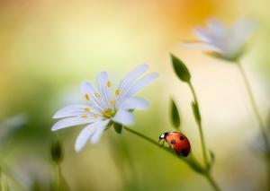 ladybug-meaning
